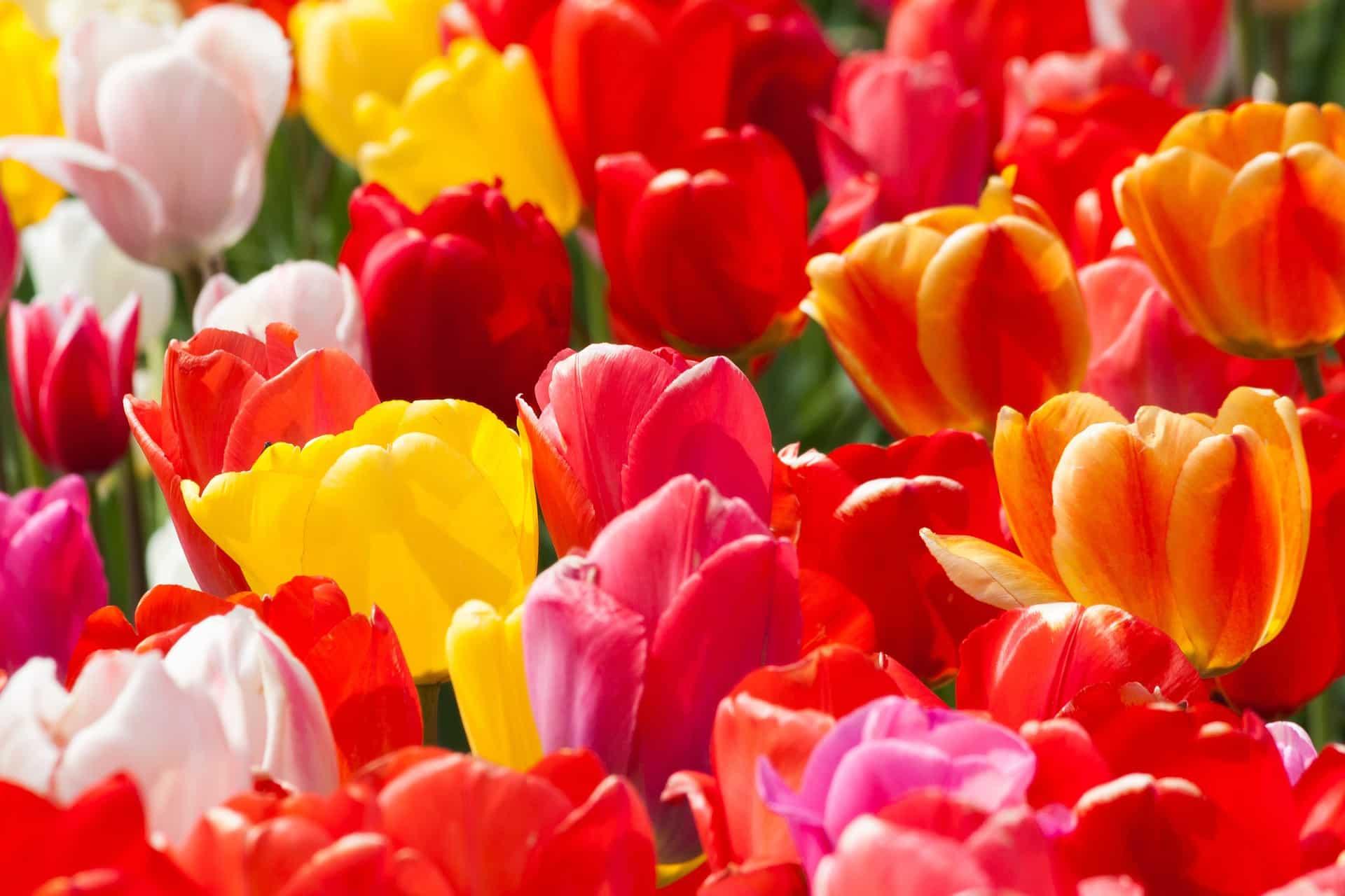 Plantation des tulipes tout nos conseils pour pas se - Planter des tulipes en mars ...