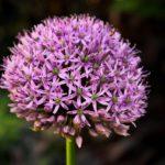 Acheter des bulbes d'Alliums